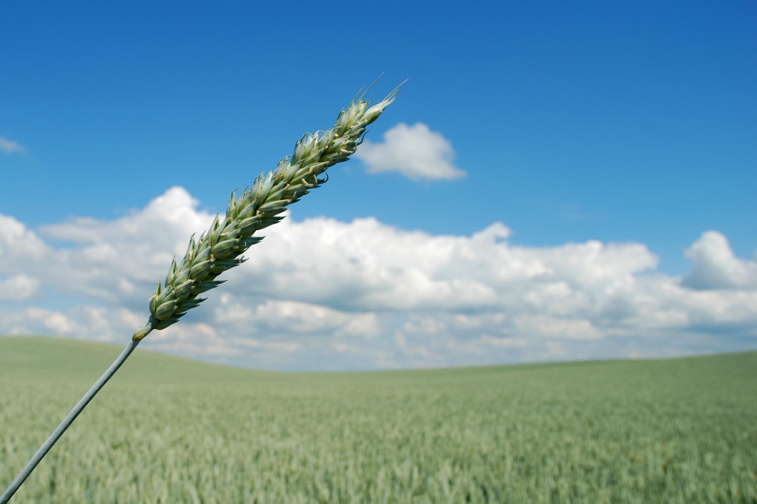 Wheat Allergy Information